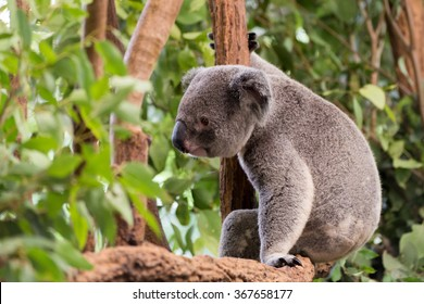 Skeptic Koala