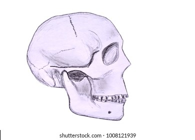 Sketch of a human skull in profile viewed from the right hand side. Isolated against a white background.