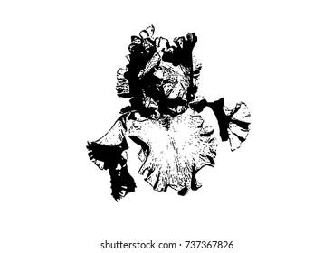 sketch of iris flower