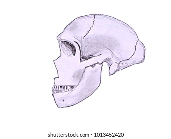 Sketch of a Neanderthal skull in profile viewed from the left hand side. Isolated against a white background.