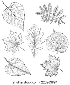 sketches of the leaves