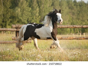 Skewbald gypsy vanner horse gallops in pasture