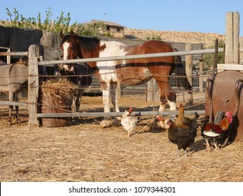 Skewbald horse eating hay in a corral or paddock in a farmyard with chickens on the other side of the fence