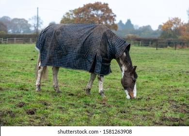 Skewbald horse in a field during the winter in Essex, U.K.