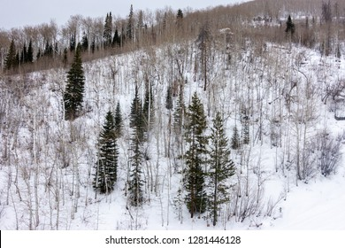 The ski slopes of Steamboat Springs ski resort, on Mount Werner in the Rocky Mountins of Colorado,  are lined by Aspen and Pine trees during a snowy winter season.