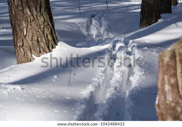 Ski track in the pine forest.