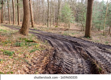Skidder tire tracks along muddy logging trail junction in pine forest