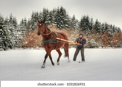 Skijoring, winter sports with horse. A man stands on skis and lets himself be dragged by his horse through the winter landscape. Skijoring is a winter sport, which has its roots in Scandinavia.