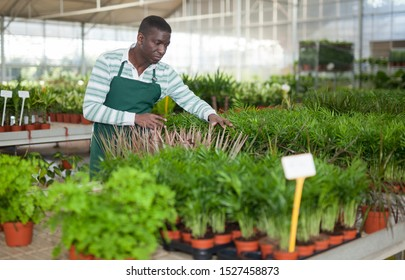 Skilled African American man owner of hothouse checking potted plants of young Chamaedorea elegans grown as houseplant