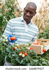 Skilled male farmer engaged in cultivation and harvesting organic tomatoes in hothouse