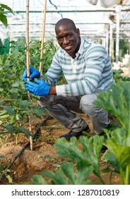 Skilled male worker of greenhouse making supports and tying up tomato plants