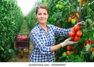 Skilled woman engaged in seasonal gardening picking fresh ripe plum tomatoes on farm