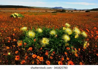 Skilpad Namaqua flowers