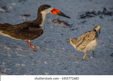 Skimmer Chick Begging Adult Skimmer, Indian Rocks Beach, Florida