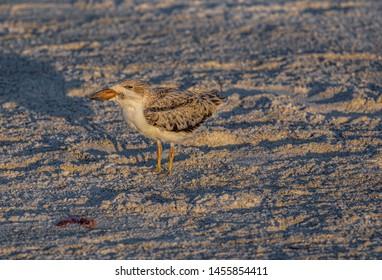 Skimmer Chick Looking Left, Indian Rocks Beach, Florida