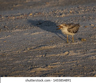 Skimmer Chick Yelling on Indian Rocks Beach, Florida