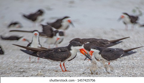 Skimmer Chicks Getting Ready for a Meal from Skimmer Adults, Indian Rocks Beach, Florida