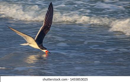 Skimmer in Flight at Indian Rocks Beach, Florida
