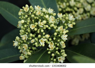 skimmia flower and buds