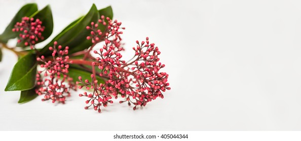 Skimmia japonica buds on the white background