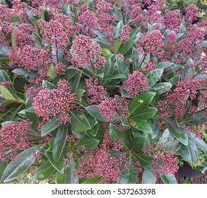 Skimmia japonica, Rubella,