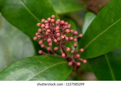 Skimmia Japonica Rubella Buds in the Garden