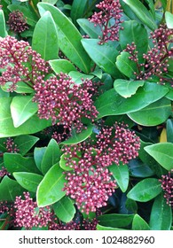 A Skimmia Japonica Rubella flowering bush with its typical maroon colored flower buds during winter