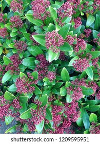 A Skimmia Japonica Rubella flowering bush with its maroon colored flower buds during winter