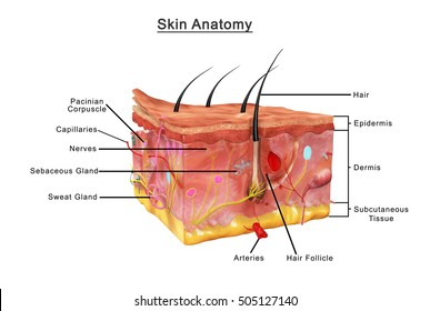 Skin anatomy 3d illustration