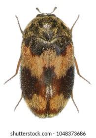 Skin beetle (larder, hide or leather, carpet, and khapra).  Attagenus simonis (Coleoptera: Dermestidae). Isolated on a white background