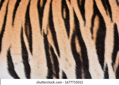 The skin and brown fur have a black stripe of the big tiger.