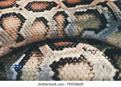 Skin of Burmese python,Python bivittatus,IUCN Red List Data Vulnerable , with copy space , focus only Skin