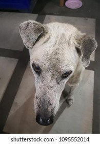 Skin disease dog or sick dog ; The white dog has demodex mange on his face and scar from wound.
