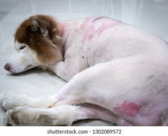 The Skin Disease of The Siberian Husky Dog,The Dog was Cut Hairs around The Body