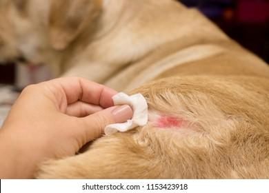 Skin diseases in yellow labradors. Atopic dermatitis