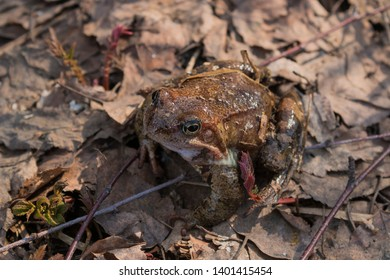 The skin of the frog masks it under the surrounding landscape and makes it invisible. Mimicry in nature.