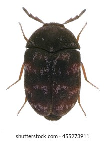 Skin (larder, hide or leather, carpet, and khapra) beetle (Dermestidae). Isolated on a white background