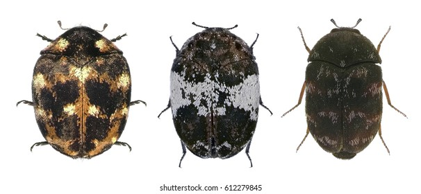 Skin (larder, hide or leather, carpet, and khapra) beetles (Dermestidae). Isolated on a white background