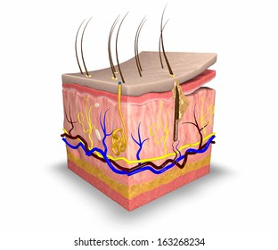 Skin layers, consist of two layers: a superficial epidermis made of epithelial tissue, and a deeper dermis made of connective tissue. Beneath the skin is a layer of fatty tissue, the hypodermis