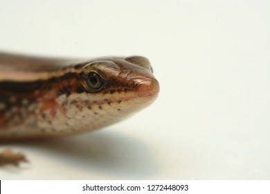 Skink close-up, skink macro image on a white background