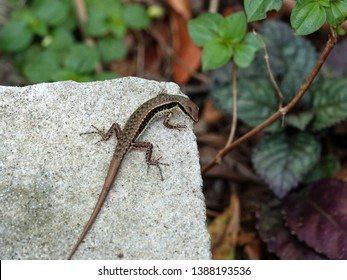 Skink in the garden in Thailand. Spotted forest skink or maculated forest skink or stream-side skink is a species of lizard found in China, South Asia and Southeast Asia.
