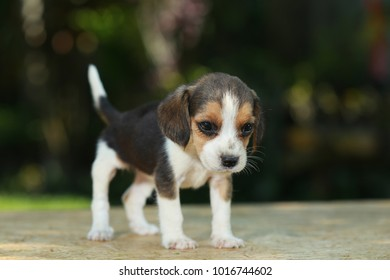 skinny beagle puppy in natural green background