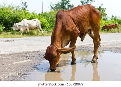 Skinny brown cattle drinking water separated out on pit road.