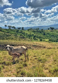 skinny cow feeding its young in a beautiful landscape with blue sky