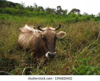 skinny cow in the grass in ecuador