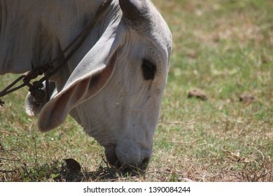 Skinny cow grassing in the sun