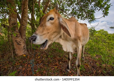 skinny Cow making a face into the camera in an asia rural scenery