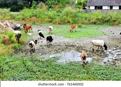 Skinny cows are drinking water in the dry up pond