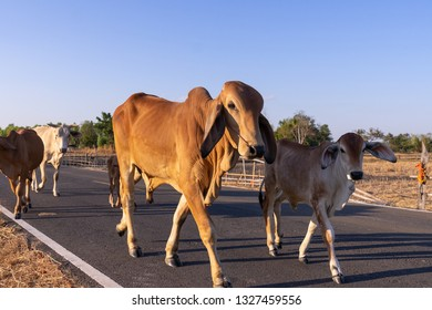 skinny family cow walk on street passing rice field