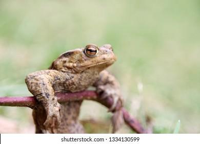 Skinny frog after winter hibernation